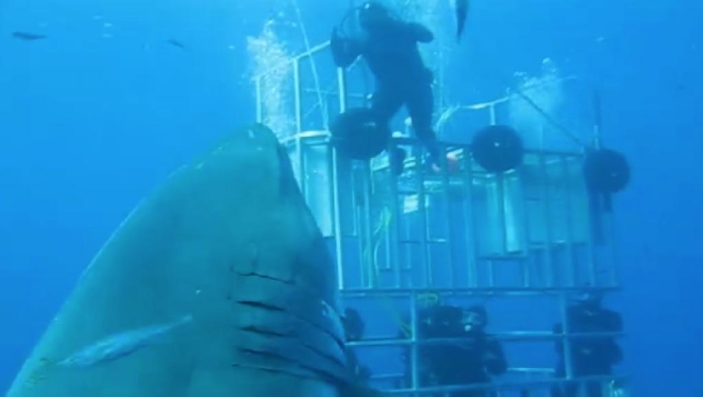 このサメいくらなんでもデカ過ぎ!生きている姿が撮影された中で史上最大のホホジロザメ!!