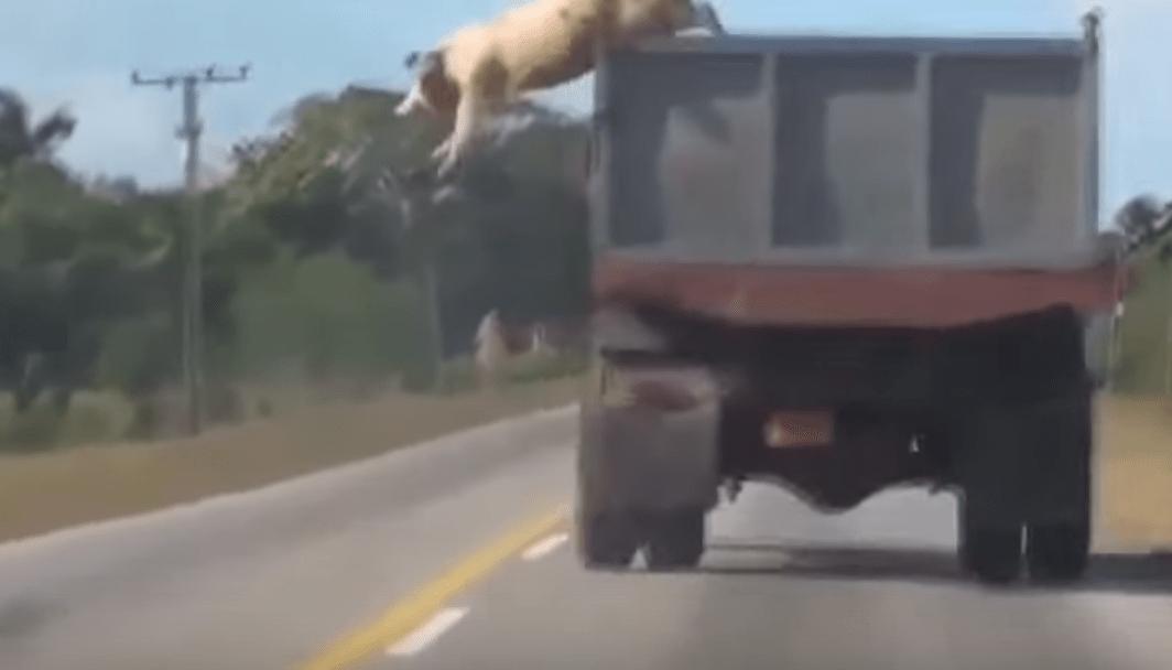 トラックに乗せられていた豚が、生き残りをかけて決死の脱出!!