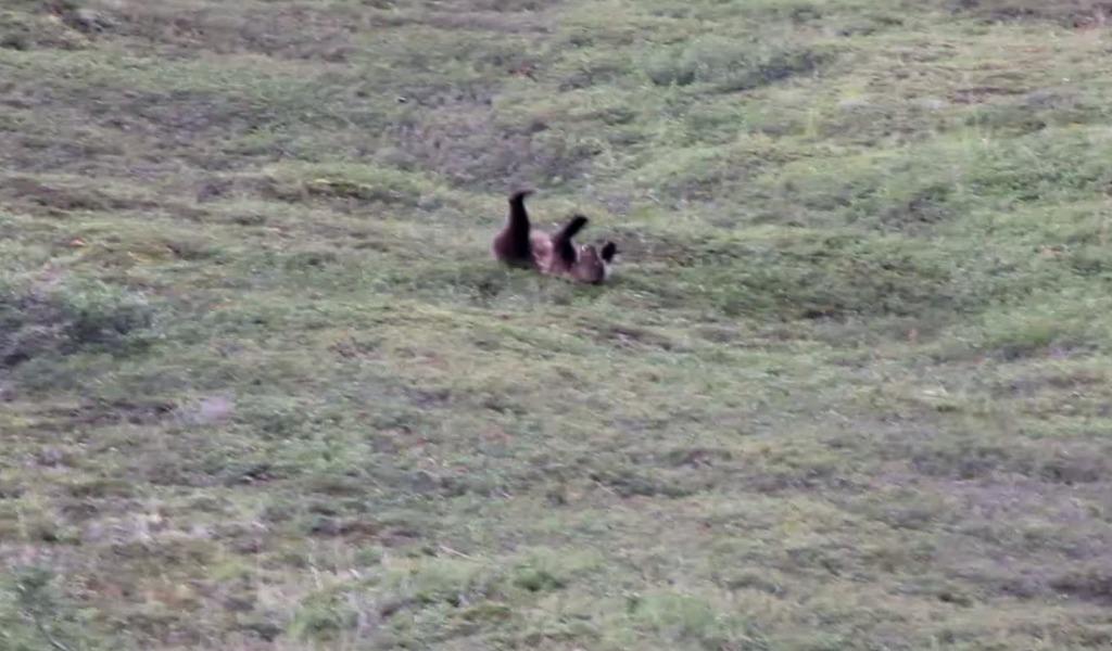 大きな熊がコロコロ転がってきた!ダイナミックすぎる一人遊び!!