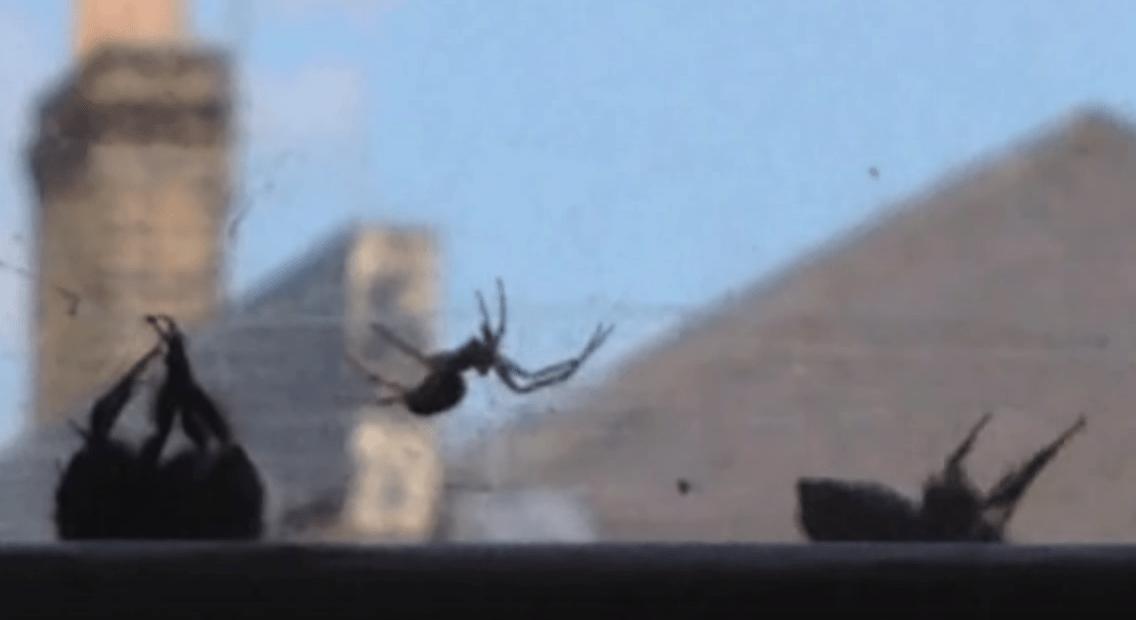 ハチにも仲間を思いやる心が?!クモに襲われる仲間を救出する動画が話題に!!