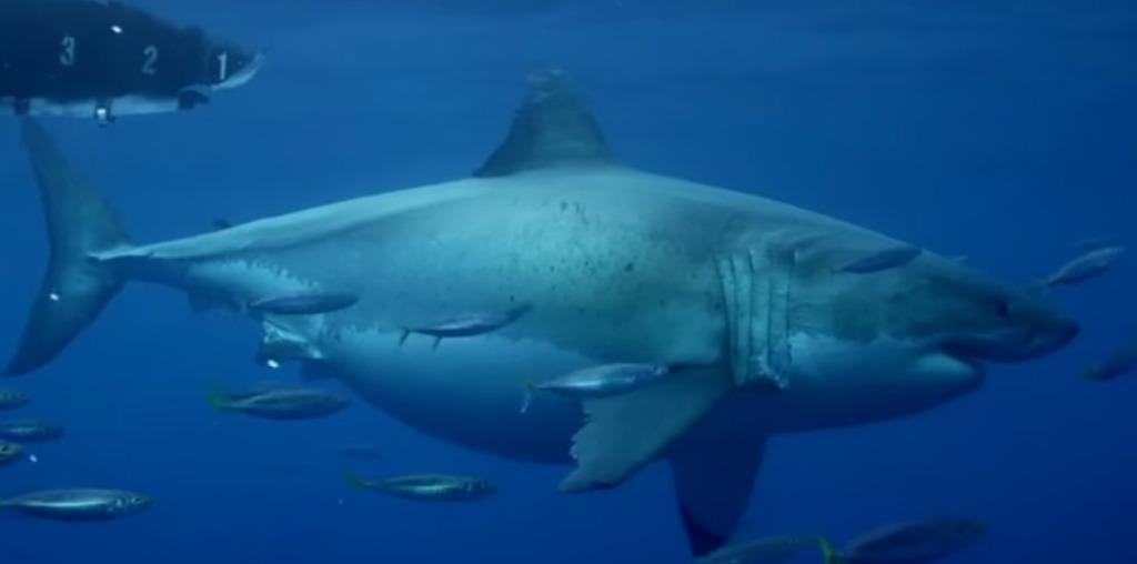 体重1900kg、体調6m超えの巨大ホホジロザメの撮影に成功!!