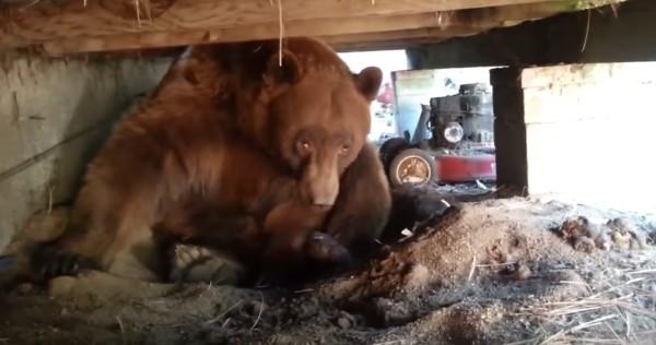 床下を見たら巨大なヒグマが!鼻息荒く威嚇してきて超怖い!!