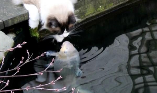 3年間毎日キスを欠かさない2匹!?鯉と猫の間に生まれた美しい愛に世界中が感動!!