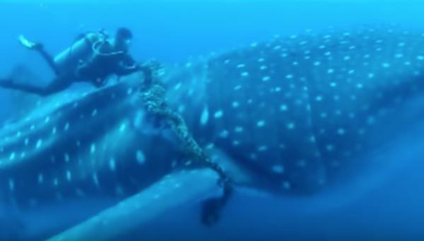 太い船のロープが巻きついたジンベイザメを発見!ダイバーが除去に成功!しかし。。