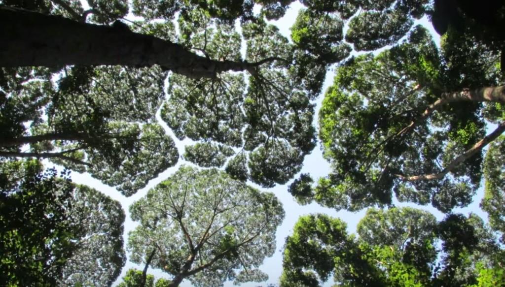 【自然凄い】木々の葉がお互いに譲り合って、空が割れたように見える現象「樹冠の遠慮」