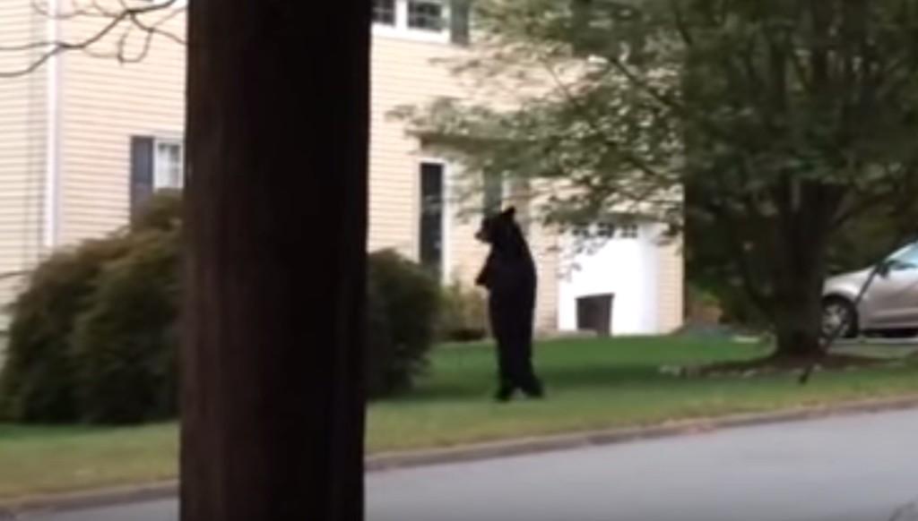 住宅街に現れた人間みたいな熊。二足歩行に至るには、実は悲しいワケがあった。。