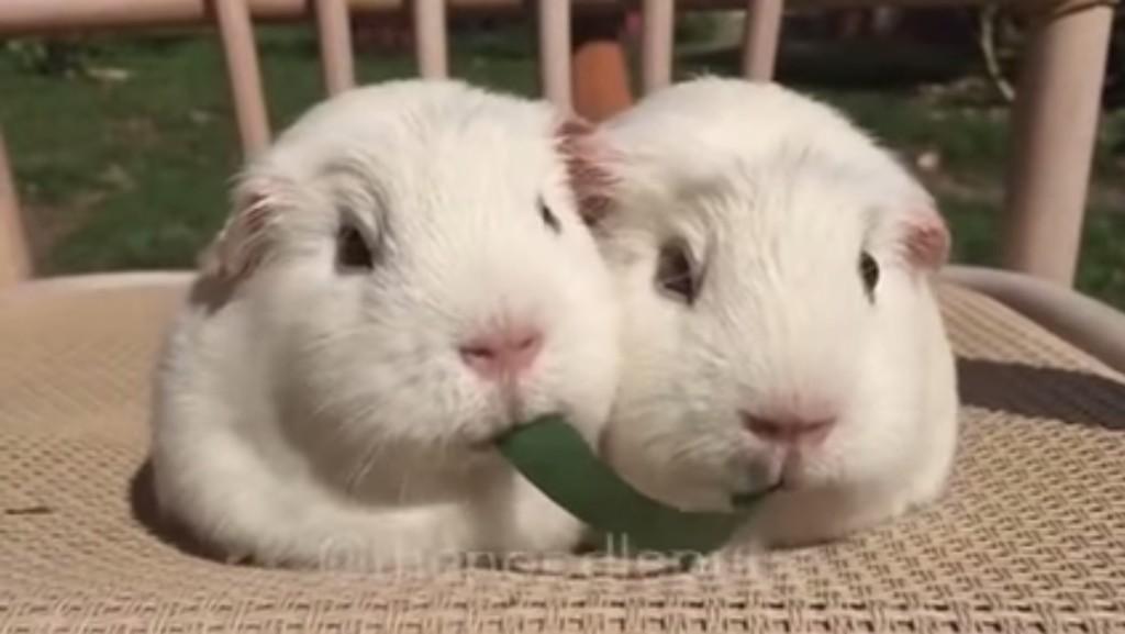 草を両端から食べる2匹のモルちゃん姉妹。この後可愛すぎる結末にwwwwwwww