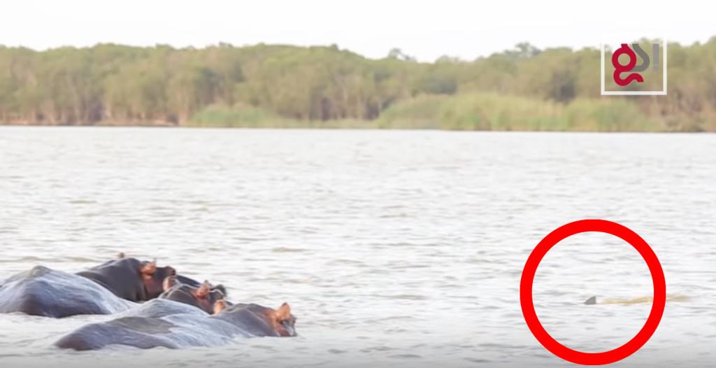 カバをサメが来襲!熾烈な自然界の偶然の出会い