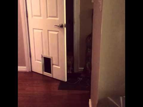 自分でドアを開けた後に猫用ドアがあることに気づいた猫ww