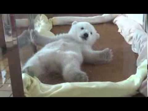 コロコロ… なかなか起き上がれないホッキョクグマの赤ちゃんが可愛い!