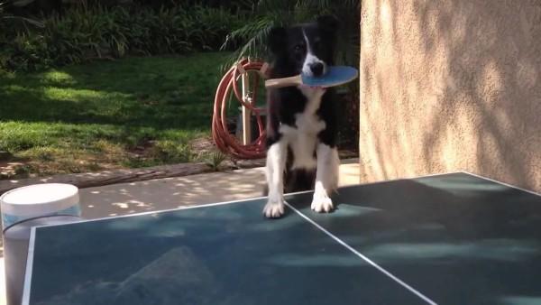 天才犬! 卓球ができる犬が現れた!!
