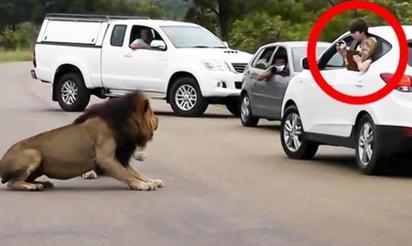 野生のライオンの前で車の窓を開けてはいけない理由
