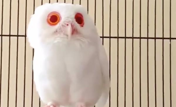 アルビノのフクロウが神秘的。。