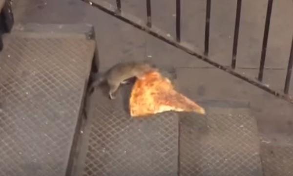 よいしょよいしょ。自分の体より大きなピザを運ぶネズミが大人気に!!