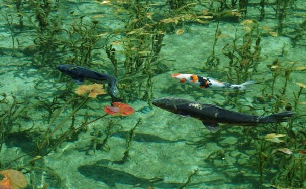 岐阜県の根道神社の近くにある小さな池が、モネの絵画「睡蓮」そっくりだと話題に!!