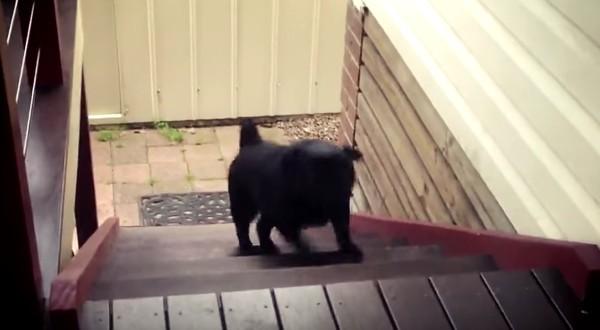 階段の登り方が面白すぎる犬が発見されるwwwwwwwww