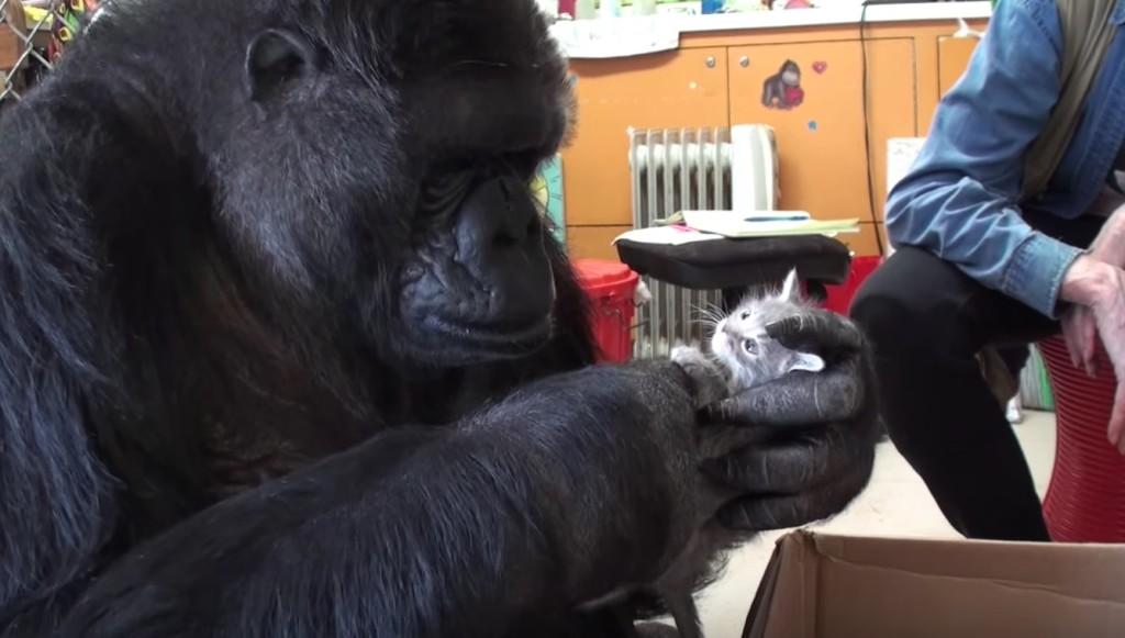 手話のできる奇跡のゴリラ「ココ」。44歳の誕生日に2匹の子猫をプレゼントされる!!