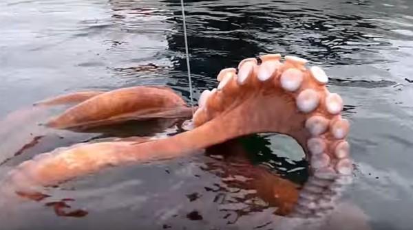 カヤックで釣りをしていたら超巨大タコが釣れた!!