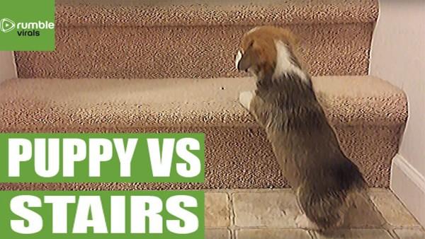 短足かわいい!コーギーの子犬が階段に苦戦するww