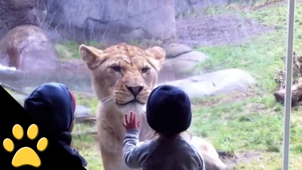 ライオンに襲われる〜!?子供の反応がカワイイ