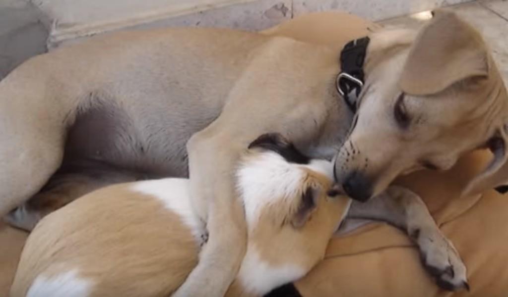 モルモットのことが好きすぎてたまらない犬。あまりのしつこさにモルモットもたじたじw