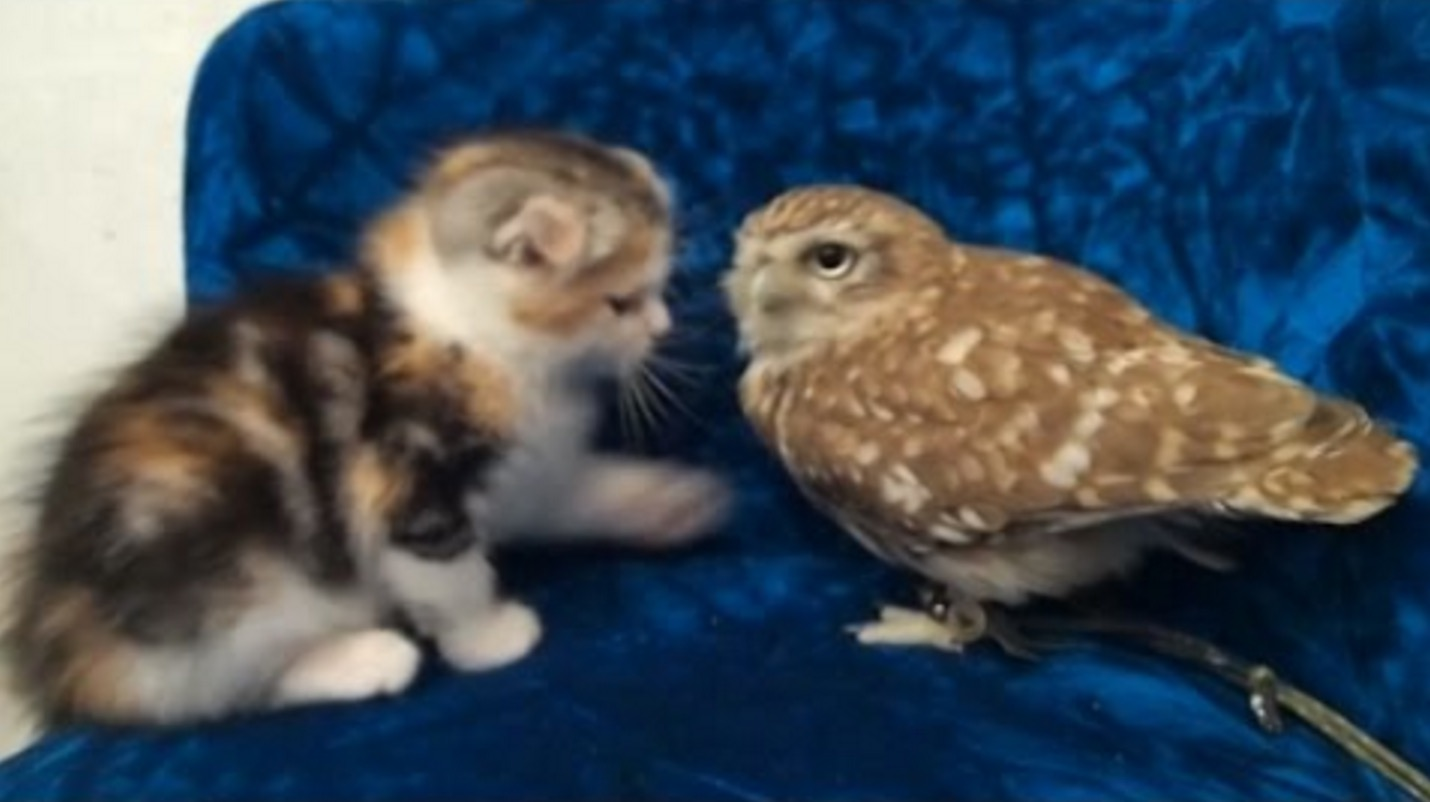 子猫と子フクロウ攻防戦が海外で話題に!しかも大阪のカフェで会える!!