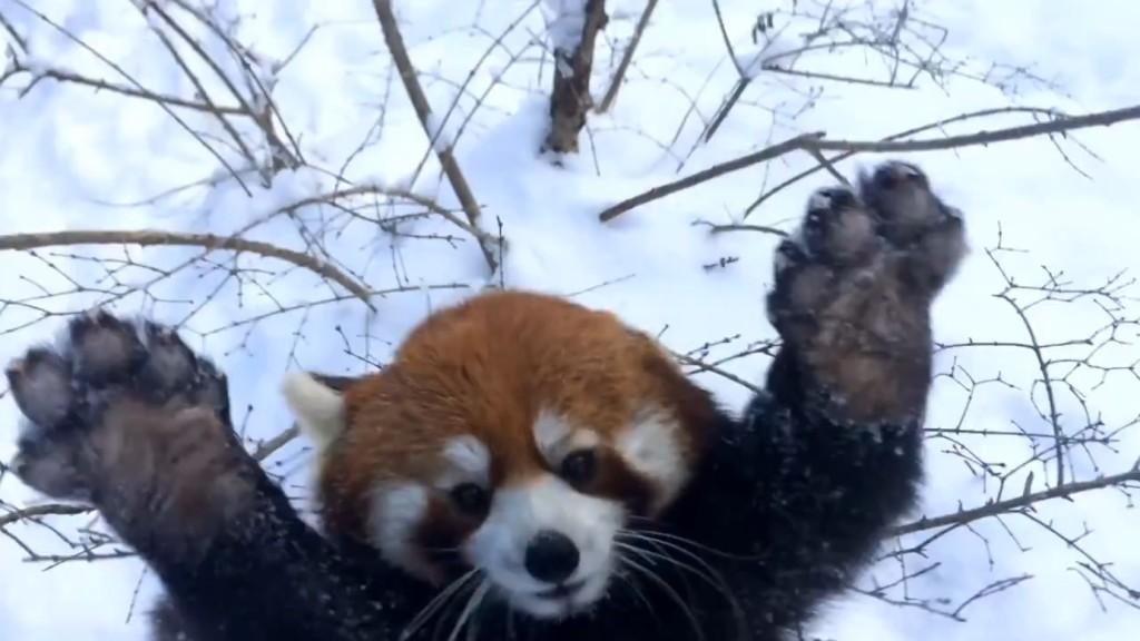 元気な小学生みたい!飼育員の前で大はしゃぎのレッサーパンダが超かわいい!!