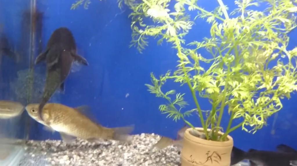 衝撃!ナマズが自分の体と同サイズの魚を丸飲み!!