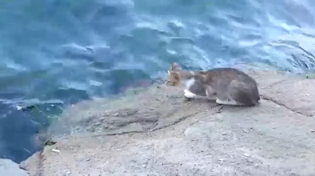 【神技】まさに忍者!海中の魚を素手で一撃で捕獲する猫がカッコイイ!!