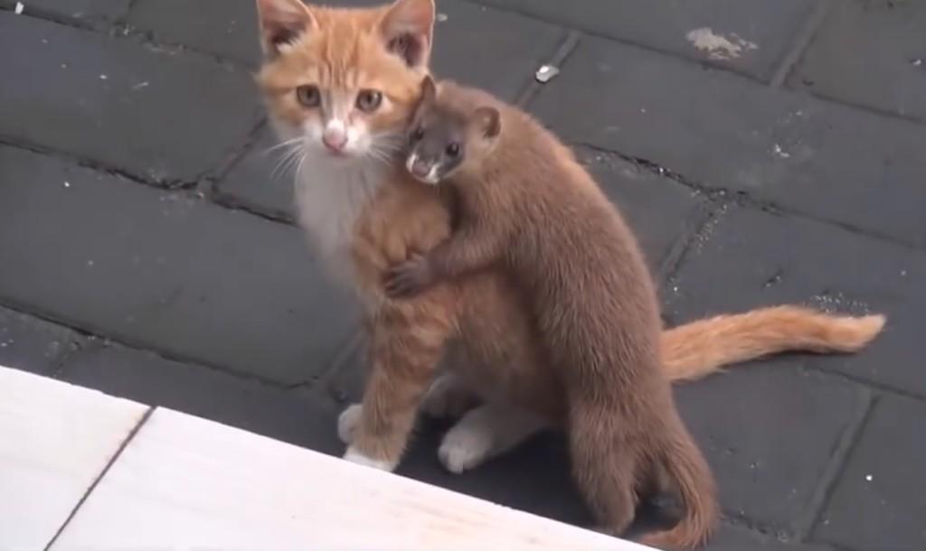 甘噛みしたり抱きついたり、子猫が大好きなイタチが可愛い!!ちょっと子猫は迷惑そうw