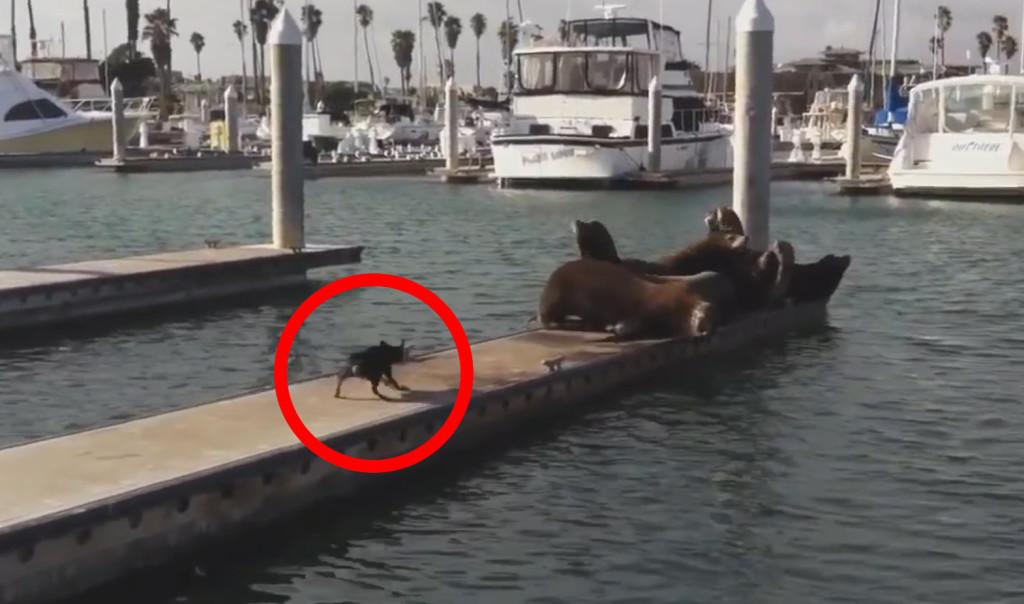 まさに鬼畜!桟橋でゆっくりしていたアシカたちを海に突き落とそうとする犬!!!