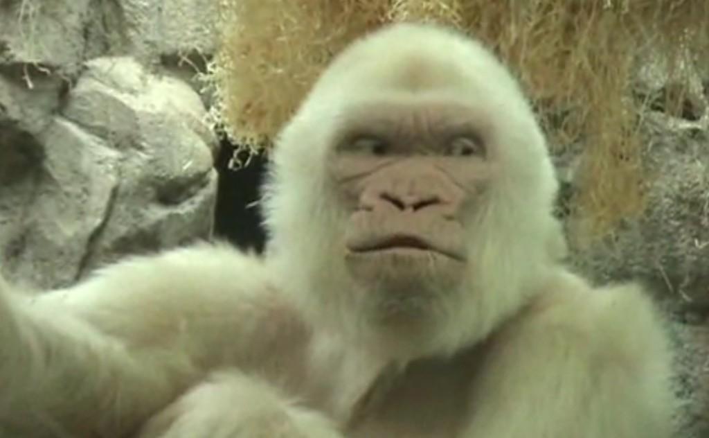 人々に愛された美しく白いアルビノのゴリラ「コピート・デ・ニエベ(雪片)」