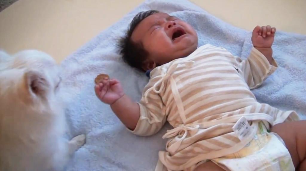 泣いてしまった赤ちゃんに自分のおやつを渡す優しいチワワ!