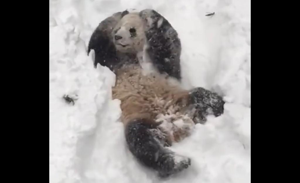 全身で雪を満喫するパンダが超可愛い!!