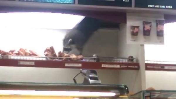 天井から忍者のように現れてドーナツを盗んでいくアライグマが可愛いwww