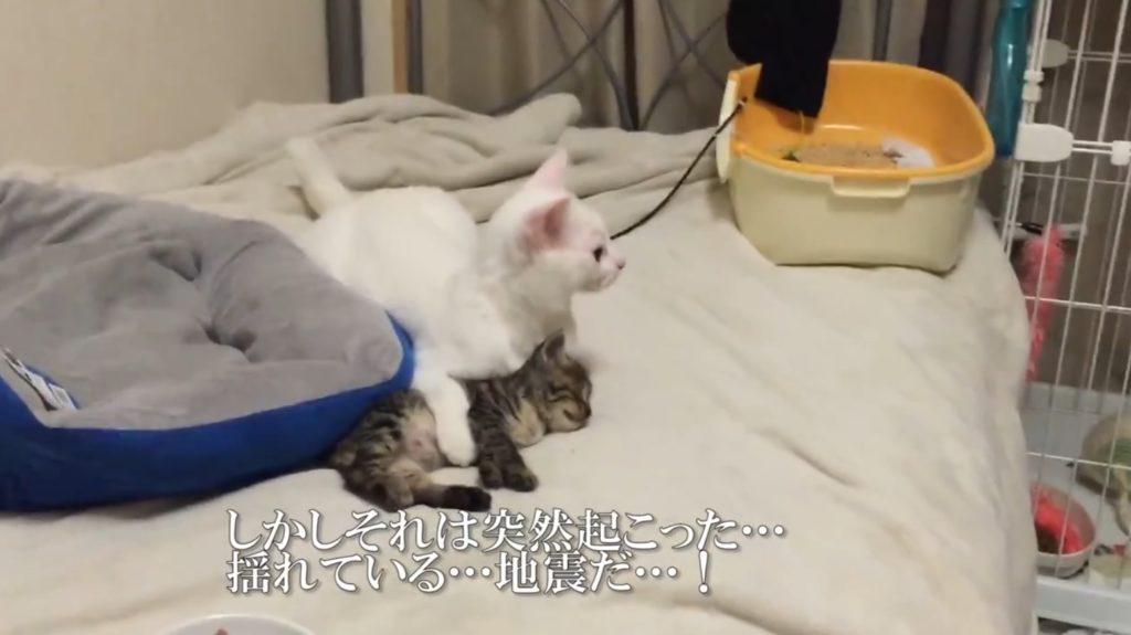 「地震だ!」子猫を守る先輩猫の優しさに惚れた!!
