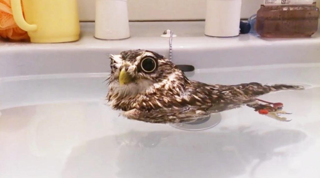 フクロウは水に浮くことが判明!!