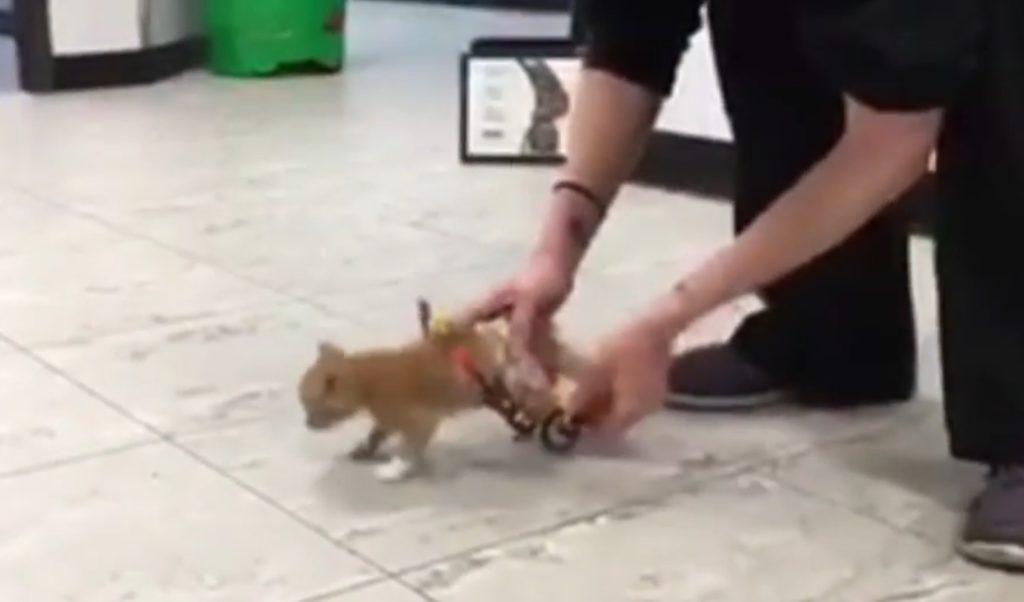 【感動】歩けない子猫が初めての車いすに大喜びで大爆走!!