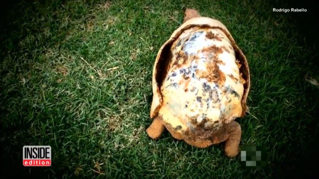 甲羅を失って内臓むき出しの亀の命を救ったのは、世界初3Dプリンターで作られた甲羅!?