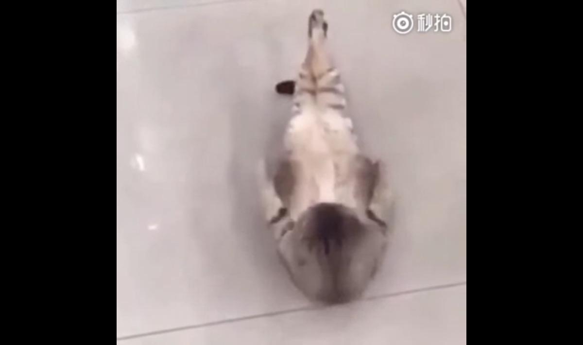 なぜか腹筋を頑張る猫wwwwwwww