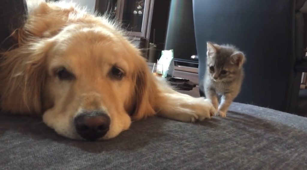 【キュン死】子猫が初対面の先輩犬に勇気を出してご挨拶!ビクビクしながら先輩犬に触れると、、!?