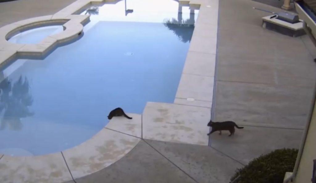 【爆笑】プールを覗き込む一匹の猫。すると後ろから黒い影が近づいてきて、、