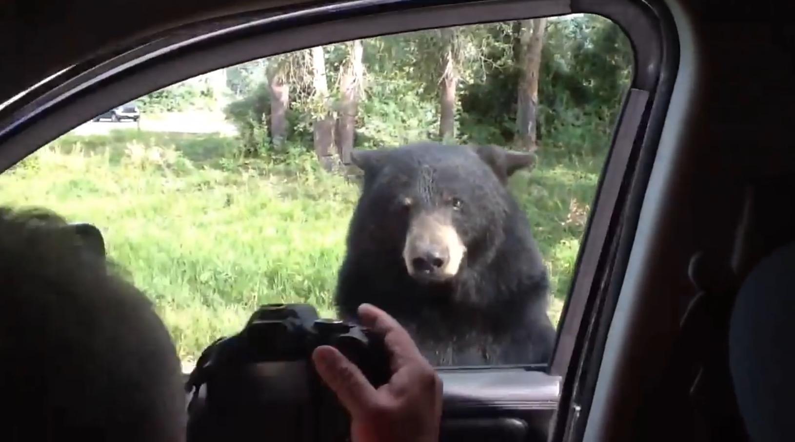 サファリパークで一家全滅の危機!熊の予想外の行動に車内は大パニック!!