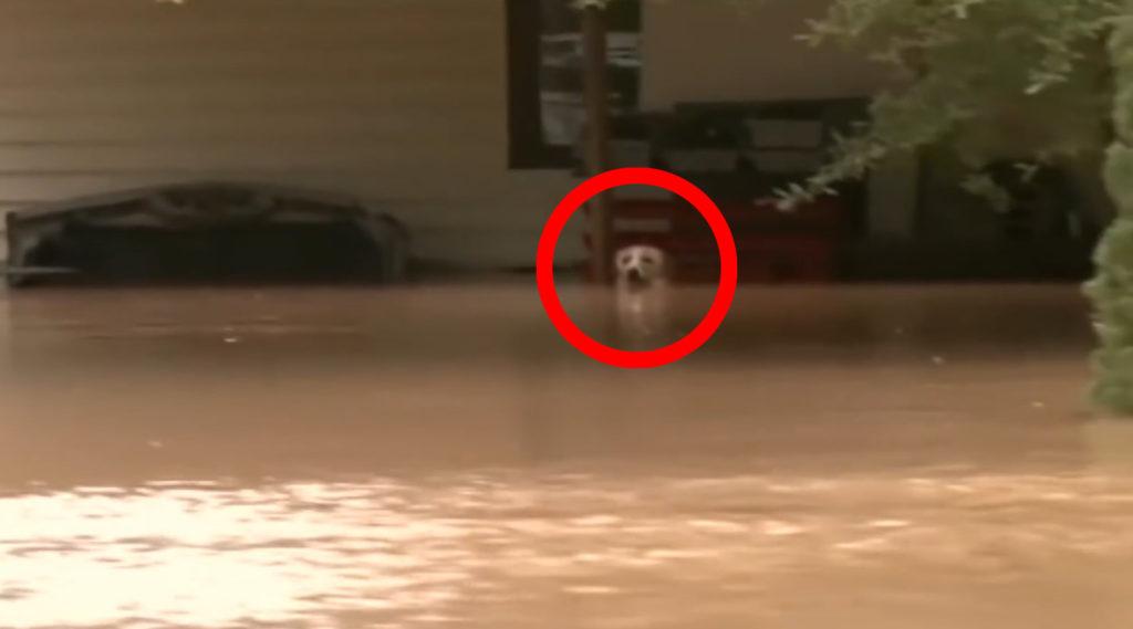 【感動】大洪水でテレビの取材中、繋がれたまま水面からギリギリ頭を出している犬を発見!その後の思わぬ展開に感動!!