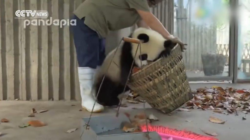 せっかく掃除したのに、、わんぱくすぎる子パンダと飼育員のいつまでも終わらない掃除wwwww