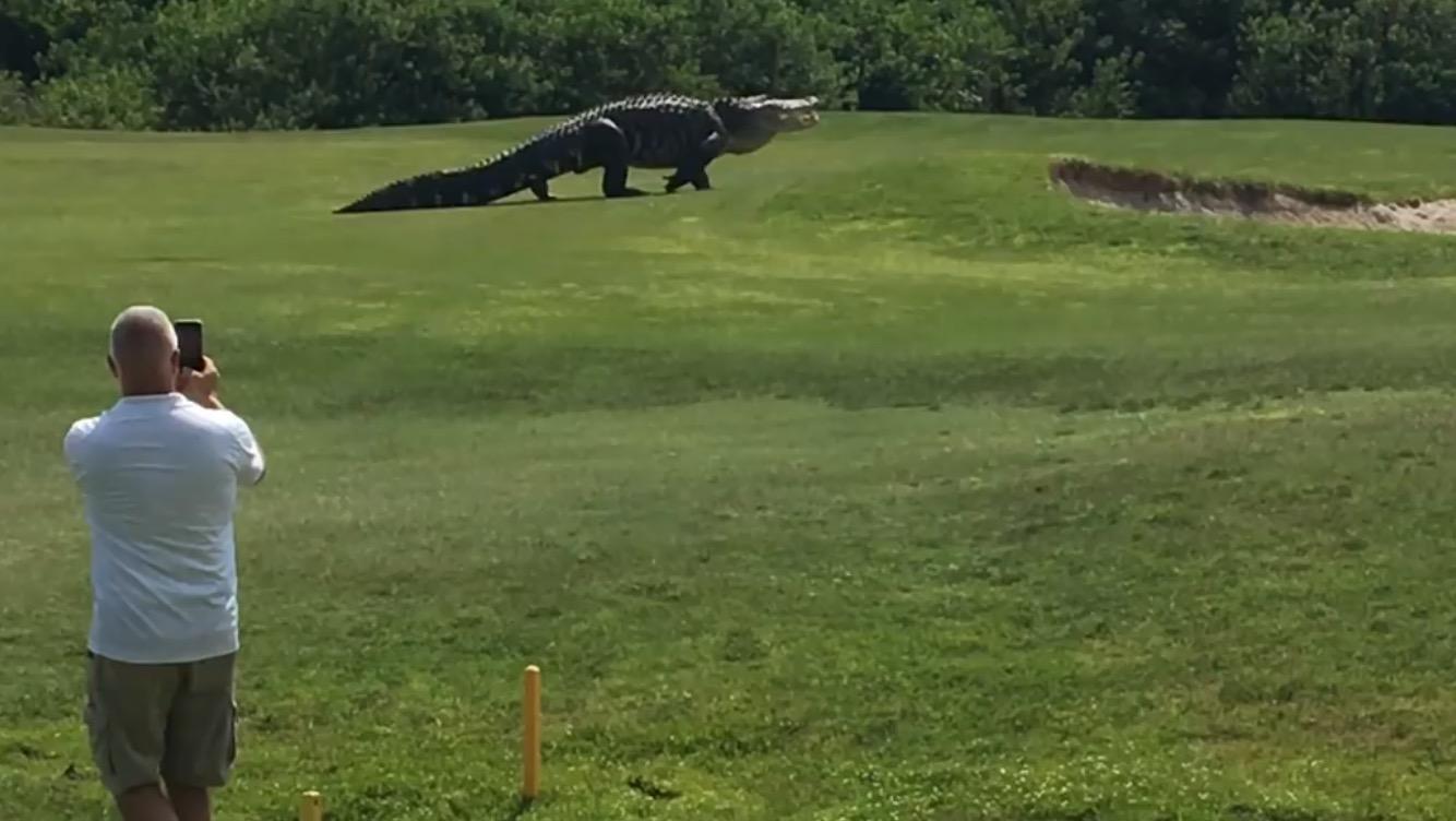 フロリダのゴルフ場を「超巨大ワニ」が横断!近すぎて怖い、、