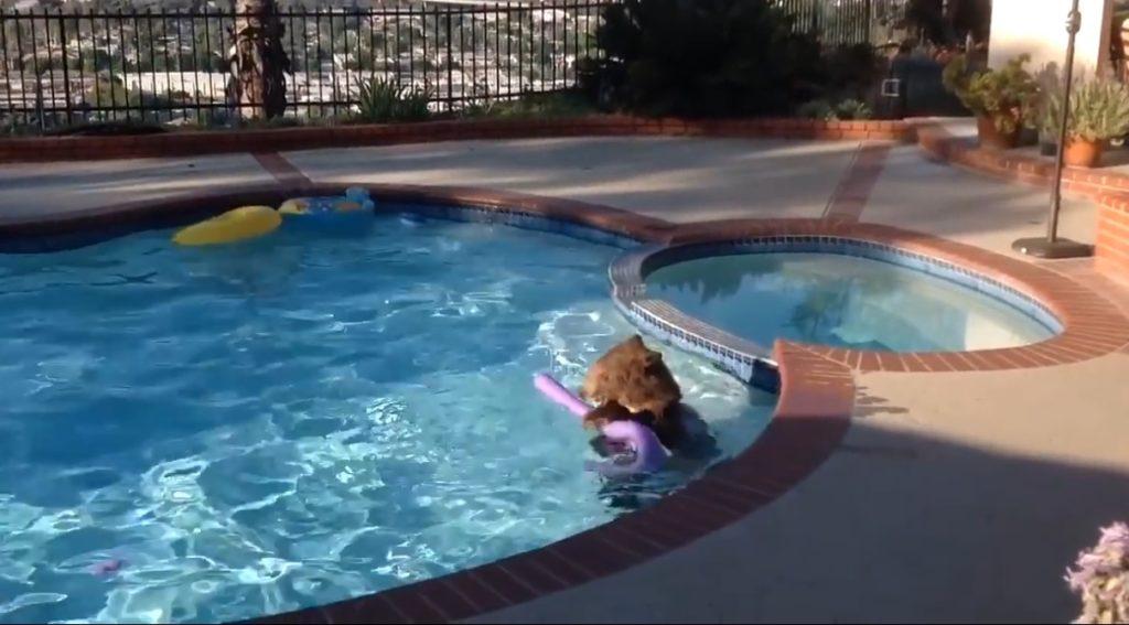 とても暑い南カリフォルニア。野生の子熊も庭のプールで大はしゃぎで一人遊び!!