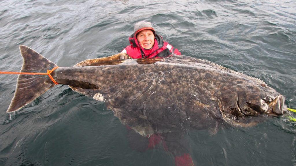 ノルウェーで釣り上げられた超巨大なカレイの仲間「オヒョウ」が凄い!!