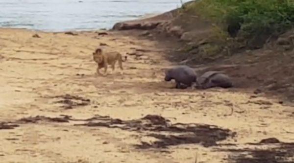 倒れてしまった母カバ。必死にライオンと戦い母を守る子カバの姿に涙。。