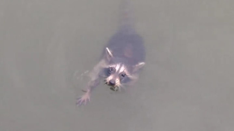 今にも力尽きそうなアライグマが助けを求めてきた!救助方法がナイスだと絶賛される!!